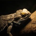 爬虫類,イグアナ