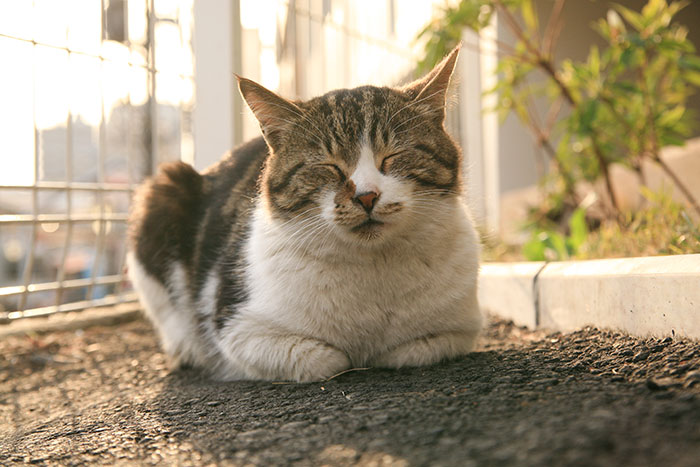 夕焼けだんだん,猫